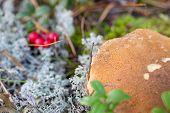 stock photo of bolete  - Bolete mushroom on ground with white lichen - JPG