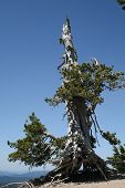 picture of klamath  - Regrowth of a damaged tree pointing to the sky - JPG