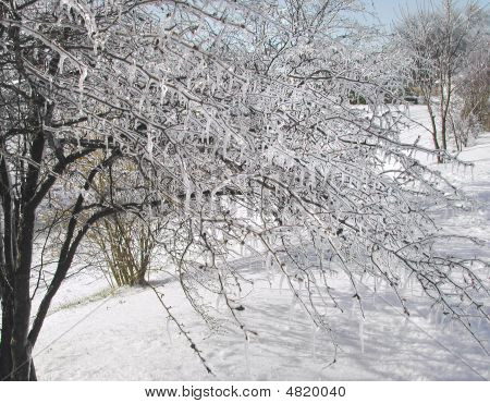 Tree Laced With Ice In Snow