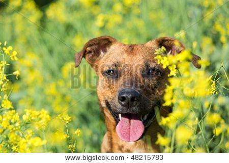 Small dog happy in the canola.