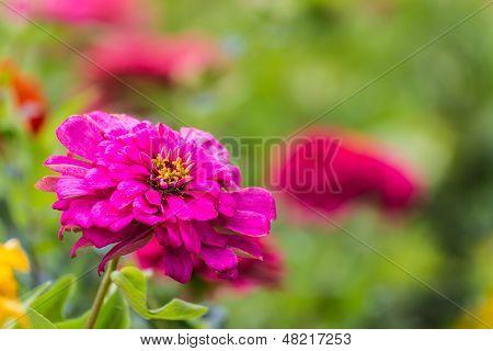 Fink Straw Flower