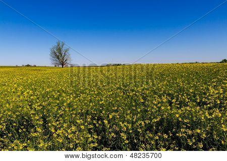 Wide Angle Shot of a Field of Beautiful Bright Yellow Flowering Canola