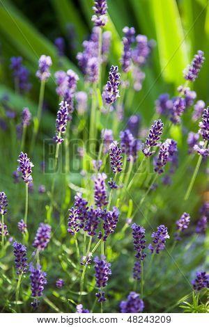 Lavender Herb Blooming