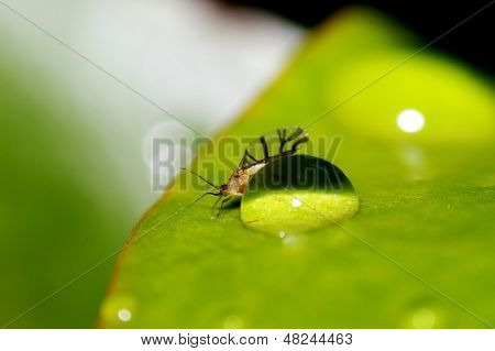 Dew and small aphid
