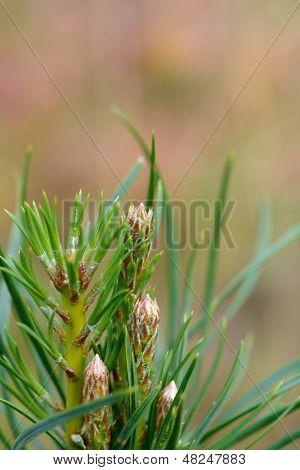 A Few Fir Branches Close-up