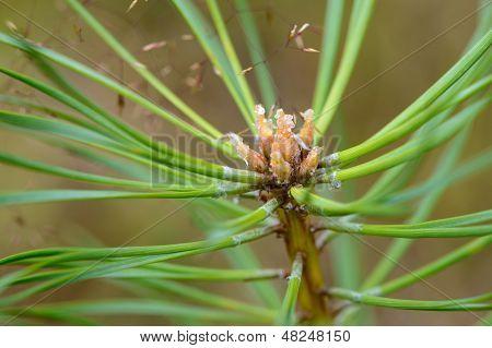 Fir Branch Close-up.