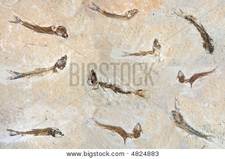 Fish Fossils 60 Million Years Old