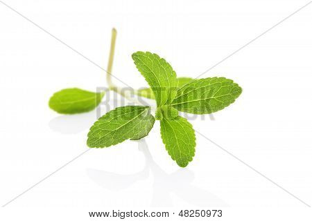 Sugarleaf Stevia.