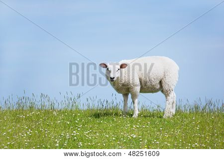 White Sheep Standing On The Dike And Looks