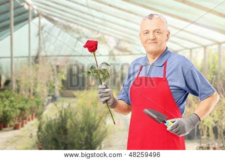 Male gardener holding a rose flower and gardening equipment, posing in a hothouse