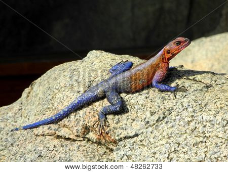 Agama on the rock during safari in africa