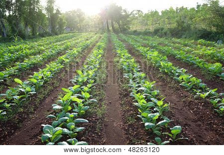 row of tobacco plant in rural farm land