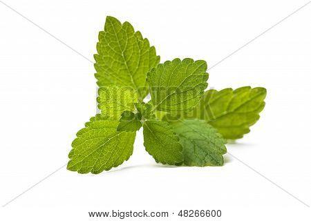 Frisches grünes Blatt von Melissa. Zitronenmelisse