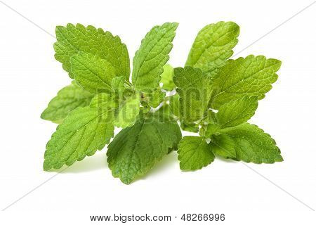 Fresh Green Leaf Of Melissa. Lemon Balm