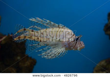 Lionfish On Blue Background