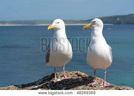 Two seagulls in St. Ives, Cornwall England.