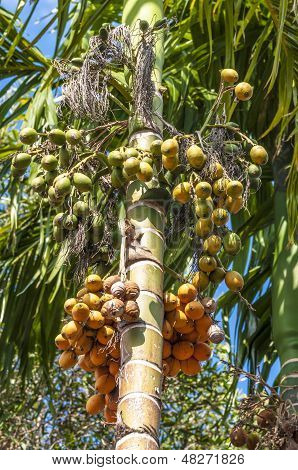 Bunch berry on a palm tree in Thailand
