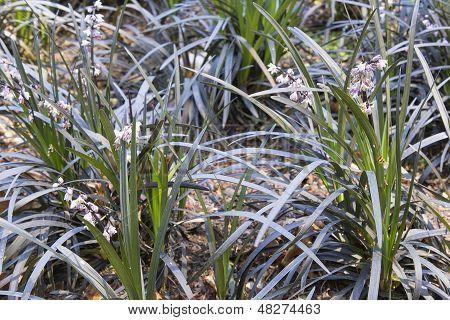 Black Mondo Grass With Flowers Closeup