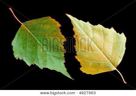 Autumn Birch Leaves
