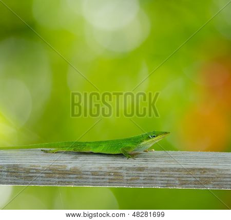 Vertical Carolina Anole