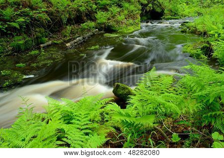 Ferns By Forest Stream