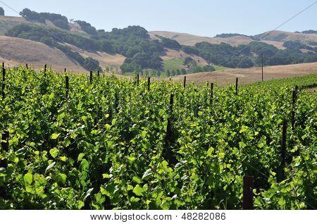 Northern California Vinyard