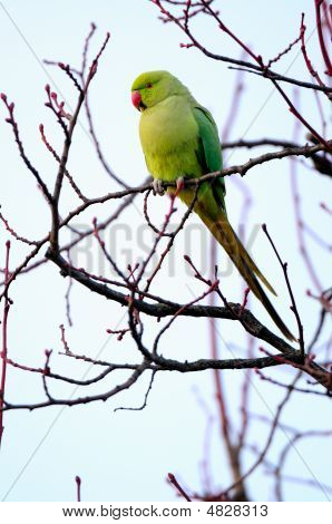 Feral Rose-ringed Parakeet (psitticula Kraneri) In West