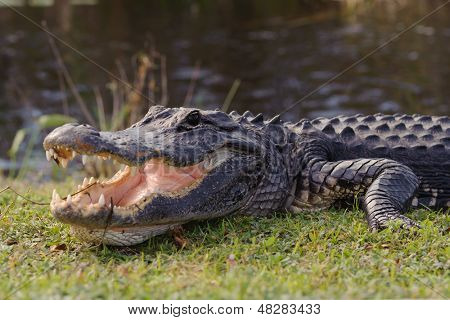Aggressive Alligator im Everglades Park in Florida