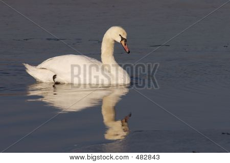 Swan Schwimming In Icy Water