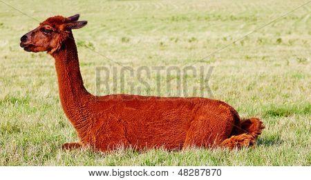 Reddish Brown Alpaca Sitting In Field