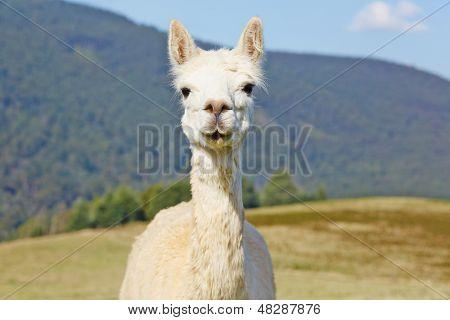 Cute, White Alpaca Portrait.