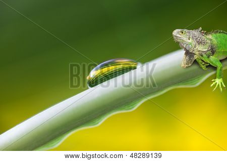 Dew Drop And Iguana