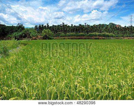 Lush Green Rice Field