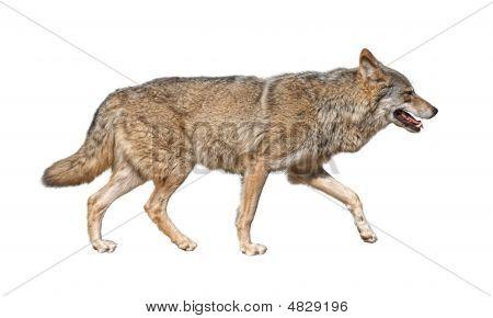 Laufende Wolf