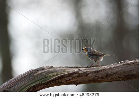 European Robin on tree branch