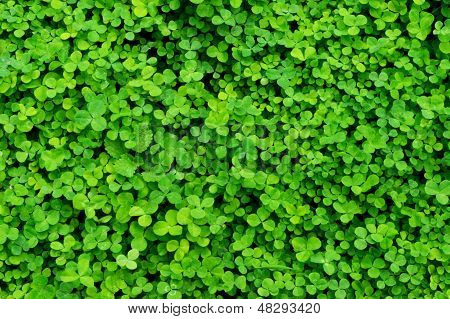 Background Plants Clover