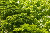 stock photo of butter-lettuce  - Full frame close up photo of a Butter lettuce and parsley