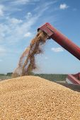 stock photo of auger  - Wheat harvest grain auger of combine pouring crop selective focus on wheat - JPG