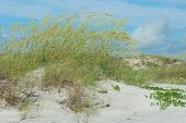 stock photo of sea oats  - Sea oats blowing in the ocean breeze along Florida dunes - JPG