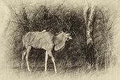 stock photo of bosveld  - Sepia Colored Walking Kudu Bull Vintage Artwork - JPG