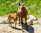 image of cashmere goat  - Young foal and mare at meadow near mountains river - JPG