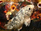 picture of koi  - School of Japanese Koi swimming in the pond - JPG