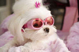 picture of maltese  - Fashionable trendy Maltese dog wearing pink goggles - JPG