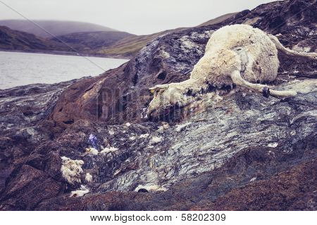 Dead And Decomposing Sheep Near Water