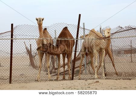 Dromedary Camels Behind A Fence