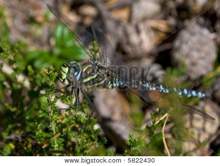 Odonata/Dragonfly