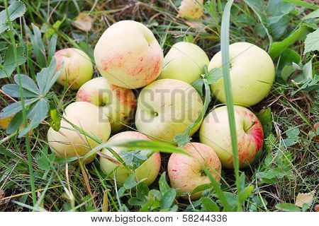 Fresh Apples In Grass