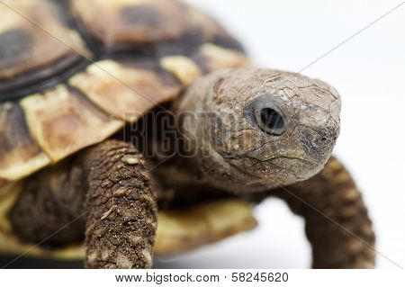 Young Turtle On A White Background