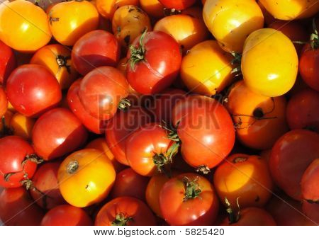 Tomatoes, just harvested