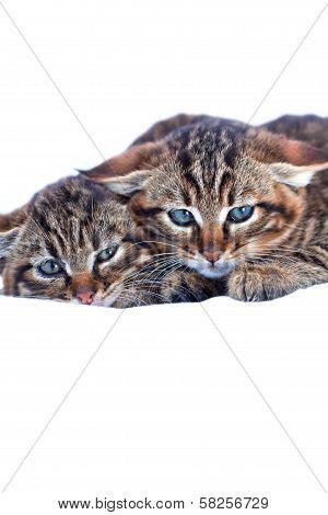 Two Wildcat Babies